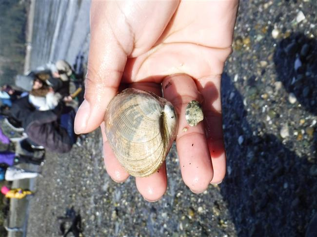 Manila clam with Rainier Beach school group digging for them in the background